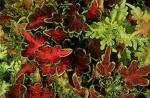 Coleus - Carefree Mix