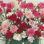 Dianthus plumarius - Spring Beauty Cottage Pinks