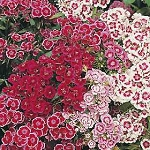 Dianthus - Wee Willie