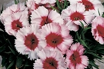 Dianthus - Super Parfait Strawberry
