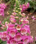 Digitalis - Camelot Rose