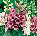 Digitalis purpurea - Foxy