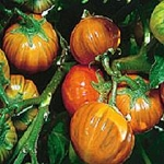 Eggplant - Turkish Orange