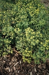 Euphorbia polychroma - Cushion Spurge