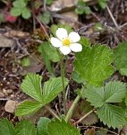 Fragaria vesca - Wild Woodland Strawberry