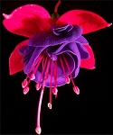 Hanging Basket - Fuschia-Rose/Violet