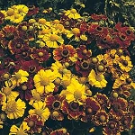 Helenium autumnale - Red and Gold Hybrid