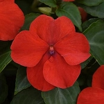Impatiens - Beacon Bright Red