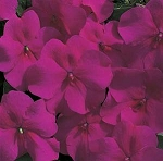 Impatiens - Accent Burgundy