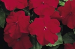 Hanging Basket - Impatiens - Red