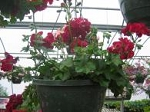 Hanging Basket - Ivy Geranium - Great Balls of Fire - Merlot
