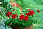 Hanging Basket - Ivy Geranium - Red
