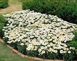 Leucanthemum maximum - Snow Lady (Shasta Daisy)
