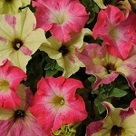 Hanging Basket Combo - Lime Coral Petunia