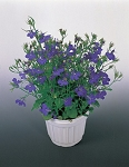 Lobelia - Riveria Marine Blue