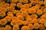 Marigold - Janie Deep Orange