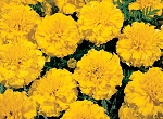 Marigold - Little Hero Yellow
