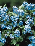 Myosotis alpestris - Bobo Blue (Forget-Me-Not)