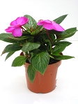 Hanging Basket - New Guinea Imaptiens-Magnum Blue - *** SOLD OUT