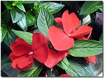 Hanging Basket - New Guinea Impatiens-Magnum Red