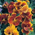 Pansy - Frizzle Sizzle Flame