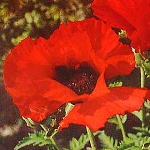 Papaver orientalis - Brillian Red (Poppy)