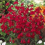 Penstemon coccineus - Scarlet (Beardtongue)