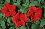 Petunia - Dreams Red
