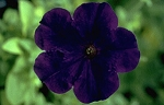 Petunia - Carpet Blue