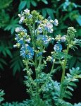 Polemonium caeruleum - Blue Pearl (Jacob's Ladder)
