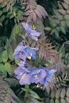 Polemonium yezoense - Purple Rain (Jacob's Ladder)