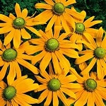 Rudbeckia hirta - Irish Eyes