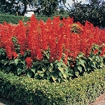 Salvia - Rambo Red