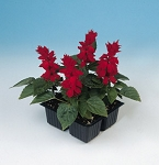 Salvia - Sizzler Red