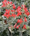 Silene regia - Royal Catchfly