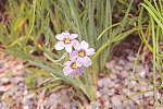 Sisyrinchium angustifolium - Stout Blue-eyed Grass - JUMBO
