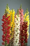 Snapdragon - Rocket Mix