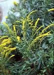 Solidago ulmifolia - Elm-leaved Goldenrod