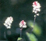 Tiarella wherryi - Foamflower