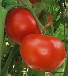 Tomatoes - Jet Star