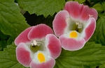 Torenia - Clown Rose