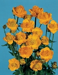 Trollius chinensis - Golden Queen (Globeflower)
