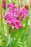 Veronia fasciculata - Common Ironweed