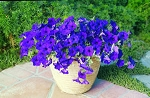 Hanging Basket - Wave Petunia-Blue