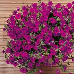 Hanging Basket - Wave Petunia-Purple