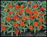 Zinnia - Profusion Orange