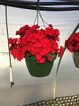 Hanging Basket - Tuberous Begonia-Red - Vermillion Red