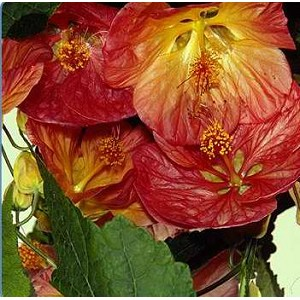 Abutilon - Bella Series Mix