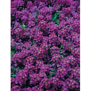 Alyssum - Wonderland Deep Purple