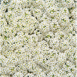 Alyssum - Wonderland White
